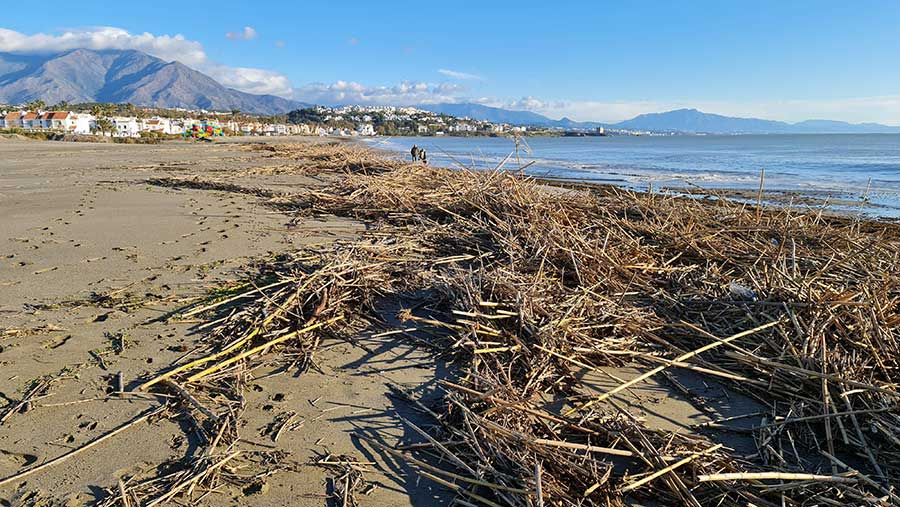 Storm Philomena washed out the rivers and bamboo got washed back up on the beaches of Manilva and Casares, beaches now clean